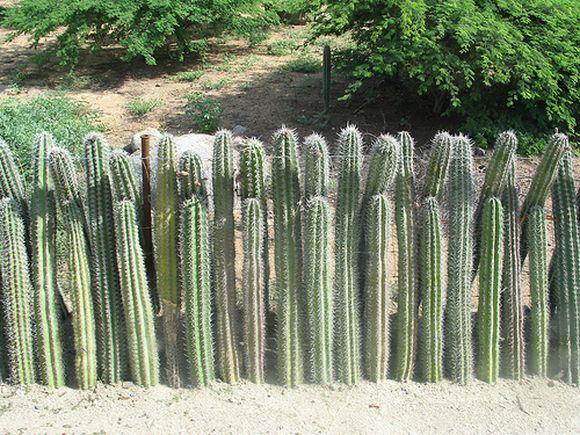 amazing cactus fence