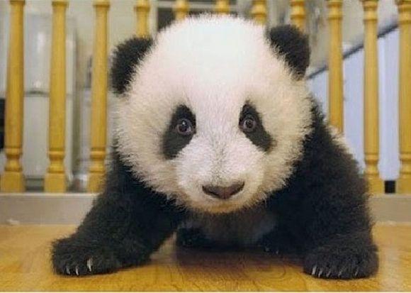 panda15
