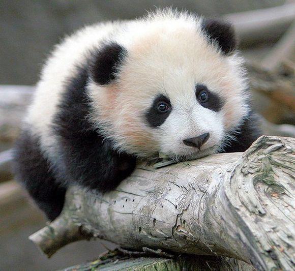 panda17