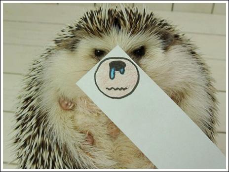 Hedgehog marutaro11