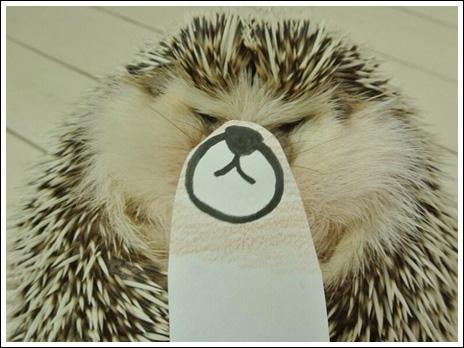 Hedgehog marutaro12