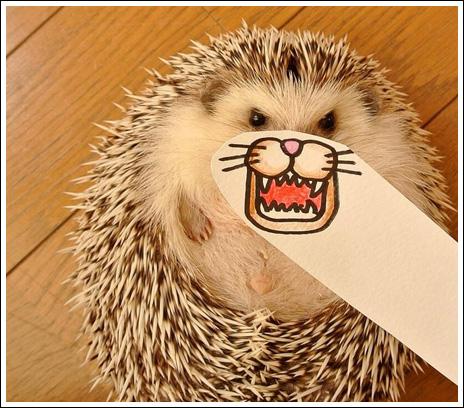Hedgehog marutaro14