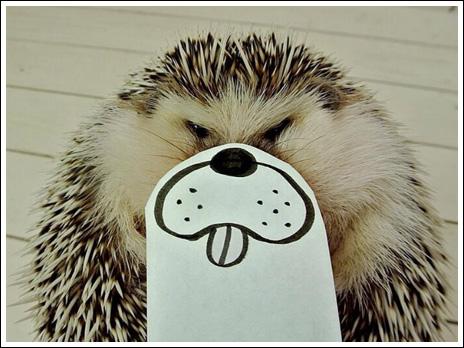 Hedgehog marutaro3