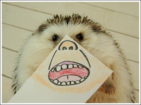 Hedgehog marutaro7