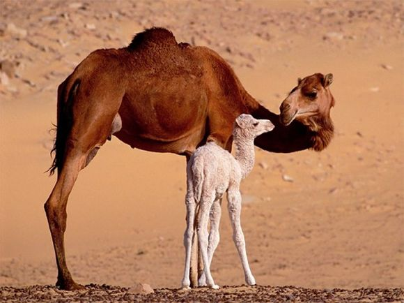 Camel mother with her cub