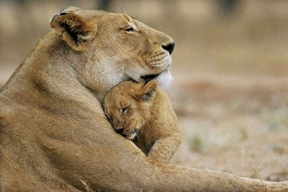 Lionesse hug her cub