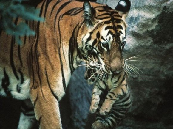 Tiger holding his baby