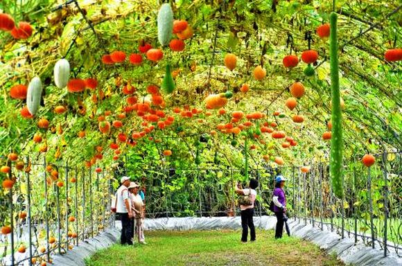 squash and pumpkin tunnel Miaoli County in Taiwan