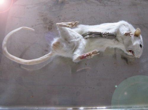 rat purse