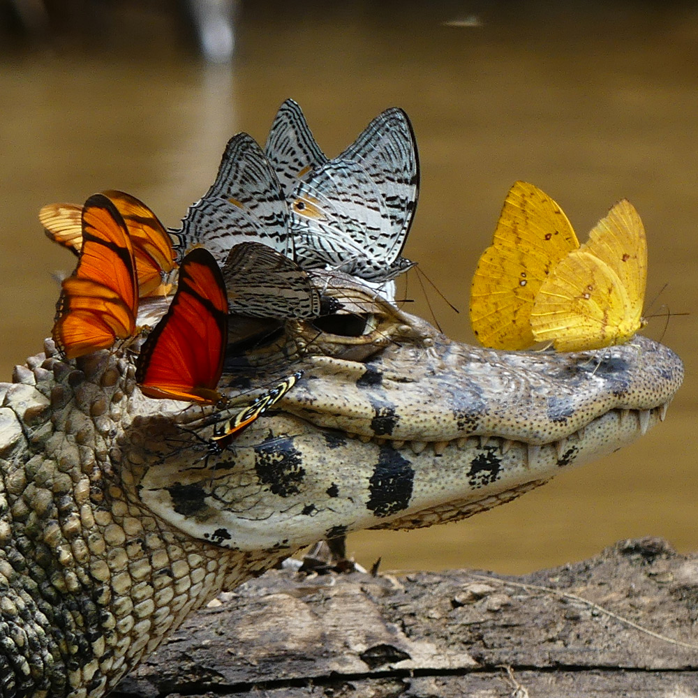 caiman covered in butterflies